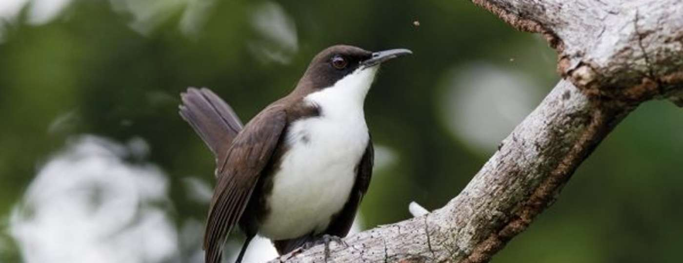 magpie bird in hindi